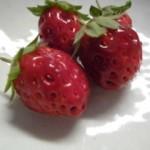 151007_イチゴ収穫